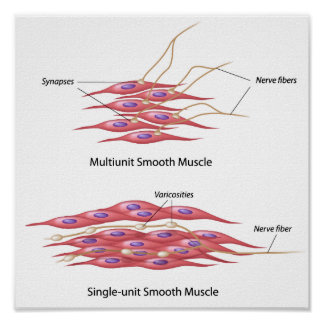 Smooth muscle innervation Poster