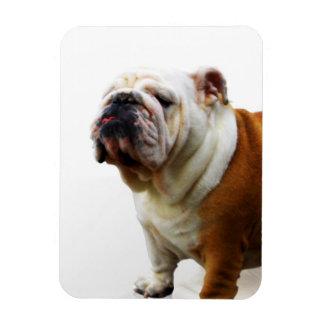 Smug Bulldog Premium Magnet Rectangular Magnet
