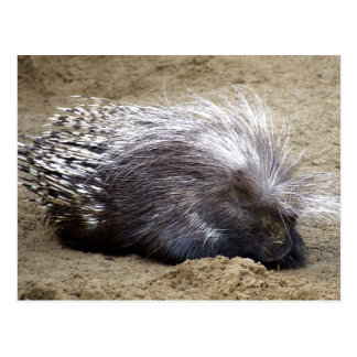 Smug Porcupine With Mop Of Large Hair On Head Postcard