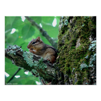 Snack Time Chipmunk in Tree Poster