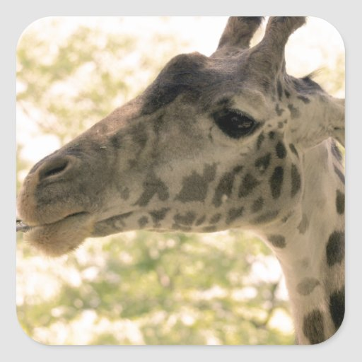 Snacking Giraffe Square Stickers