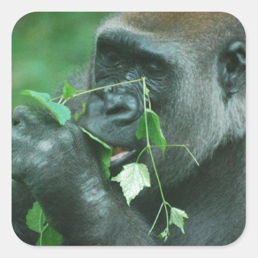 Snacking Gorilla Square Stickers