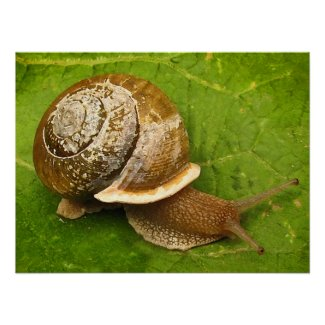 Snail Emerging from Shell Poster