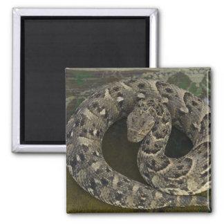 Snake Charmer's African Puff-adder Bitis 2 Inch Square Magnet