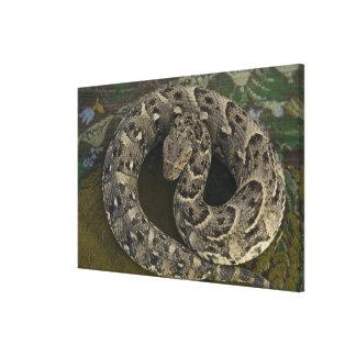 Snake Charmer's African Puff-adder Bitis Canvas Print