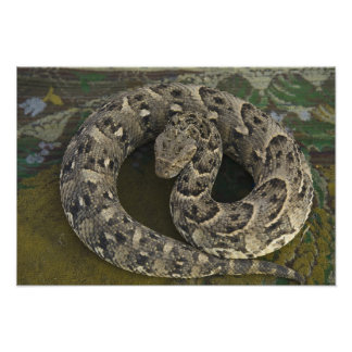 Snake Charmer's African Puff-adder Bitis Photo Print