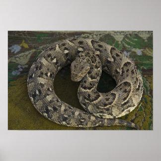 Snake Charmer's African Puff-adder Bitis Poster