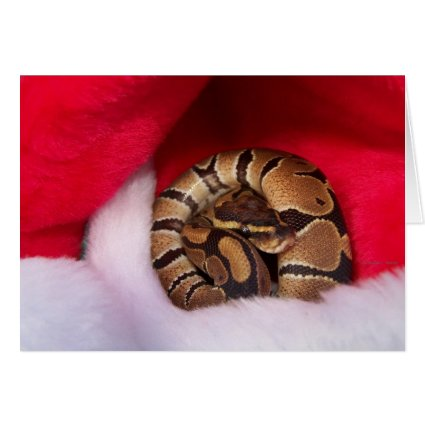 Snake curled up in Santa hat, ball python Cards