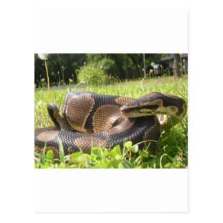 Snake Designs Postcard