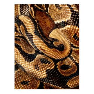 snake lovers Ball Python Postcard