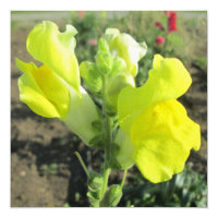 Snapdragon Yellow Flower Card