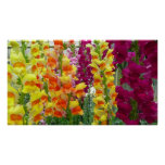 Snapdragons Colorful Floral Poster