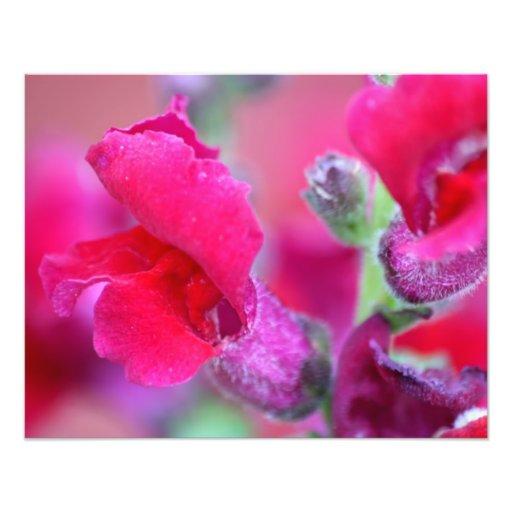 Snapdragons rosado vibrante cojinete