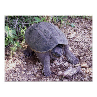 Snapping Turtle 1 Print