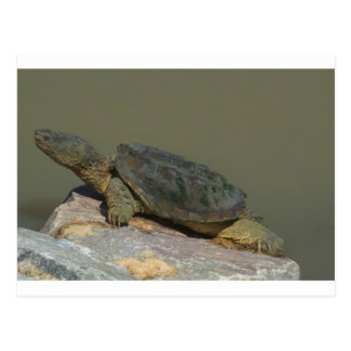 Snapping Turtle Postcard