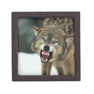 Snarling gray wolf jewelry box
