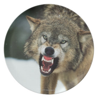 Snarling gray wolf plate