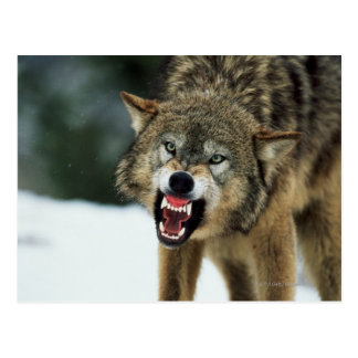 Snarling gray wolf postcards