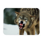 Snarling gray wolf rectangular magnets