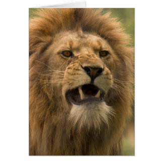 Snarling lion. Card by cARTerART