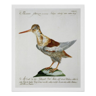 Snipe, c.1767-76 (hand coloured engraving) poster