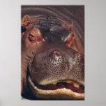 Snoozing Hippopotamus Portrait Posters