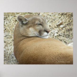 Snoozing Puma Poster
