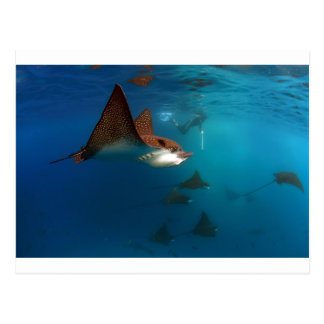 Snorkeling with spotted eagle rays postcard