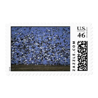 Snow and Blue Geese huge gaggle in flight Postage