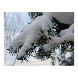 Snow And Ice On Pinetree Postcard