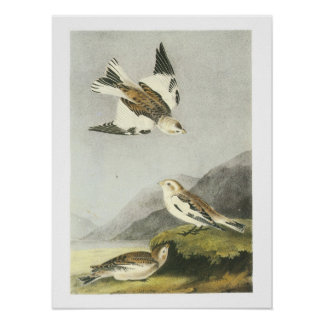 Snow Bunting by Audubon Poster