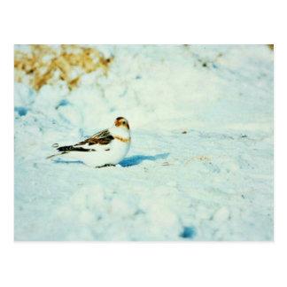 Snow Bunting Postcard