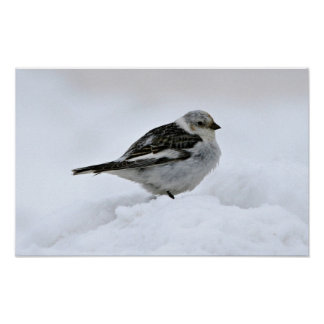 Snow Bunting Posters