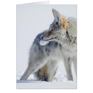 Snow-covered Coyote at Yellowstone National Park. Card