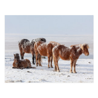 Snow Covered Icelandic Horses Postcard