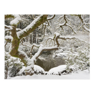 Snow-covered Japanese maple Postcard