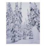 Snow-covered lodge pole pines poster