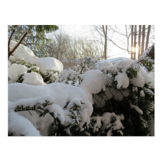 Snow Covered Pine Bushes In The Morning Sun Postcard