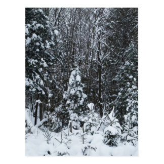 Snow Covered Pines Postcard