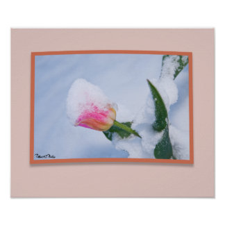 Snow Covered Pink Tulip Print