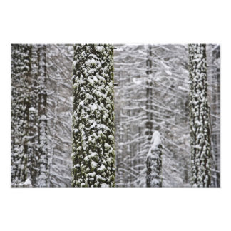 Snow covered tree trunks in Yosemite valley - Photo Print