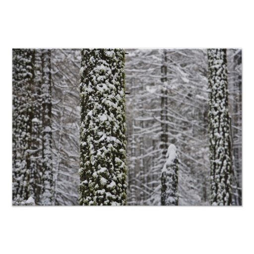 Snow covered tree trunks in Yosemite valley - Poster