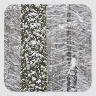 Snow covered tree trunks in Yosemite valley - Square Sticker