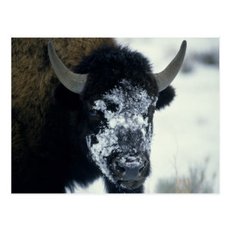 Snow coverered Buffalo Postcard