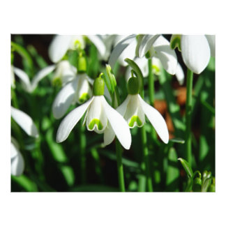 Snow Drops - Winter Blooming Bulb Flowers Flyer