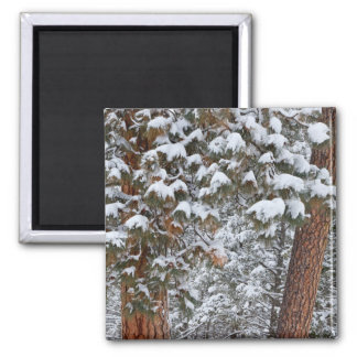 Snow fills the boughs of ponderosa pine trees magnet
