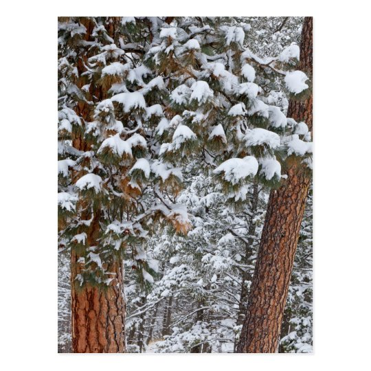 Snow fills the boughs of ponderosa pine trees postcard