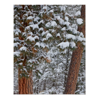 Snow fills the boughs of ponderosa pine trees poster