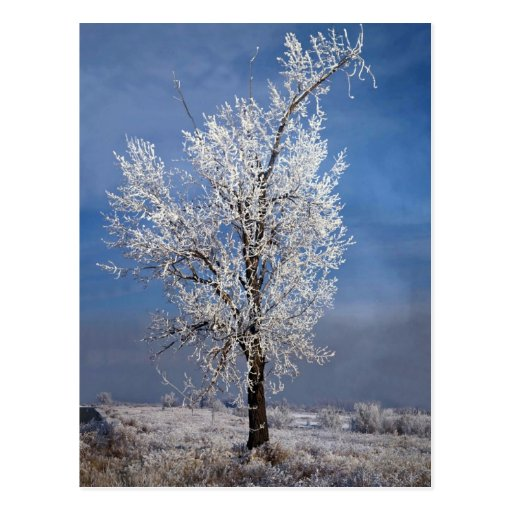 Snow, fog and tree covered with rime ice, Orem, Ut Postcard