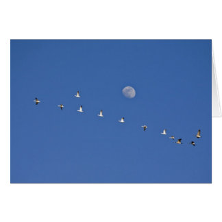 Snow geese and Canadian geese take flight at Card